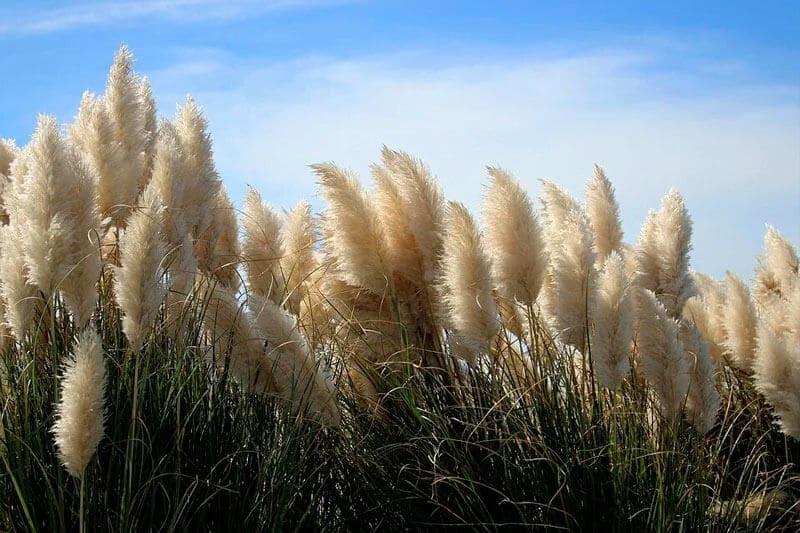 herbe de la pampa extérieur